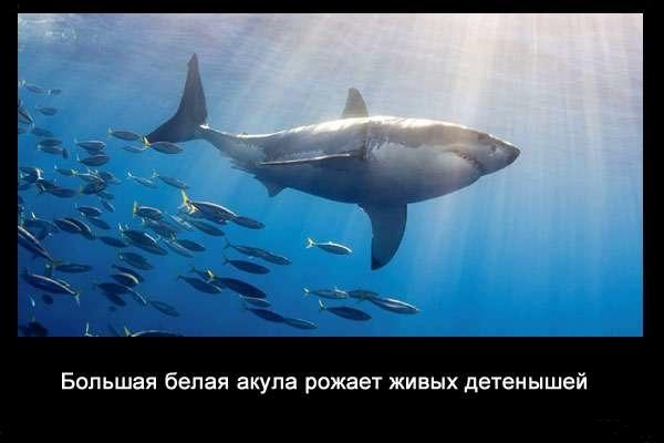 валтея - Интересные факты о акулах / Хищники морей.(Видео. Фото) DgdcfFOVKEc