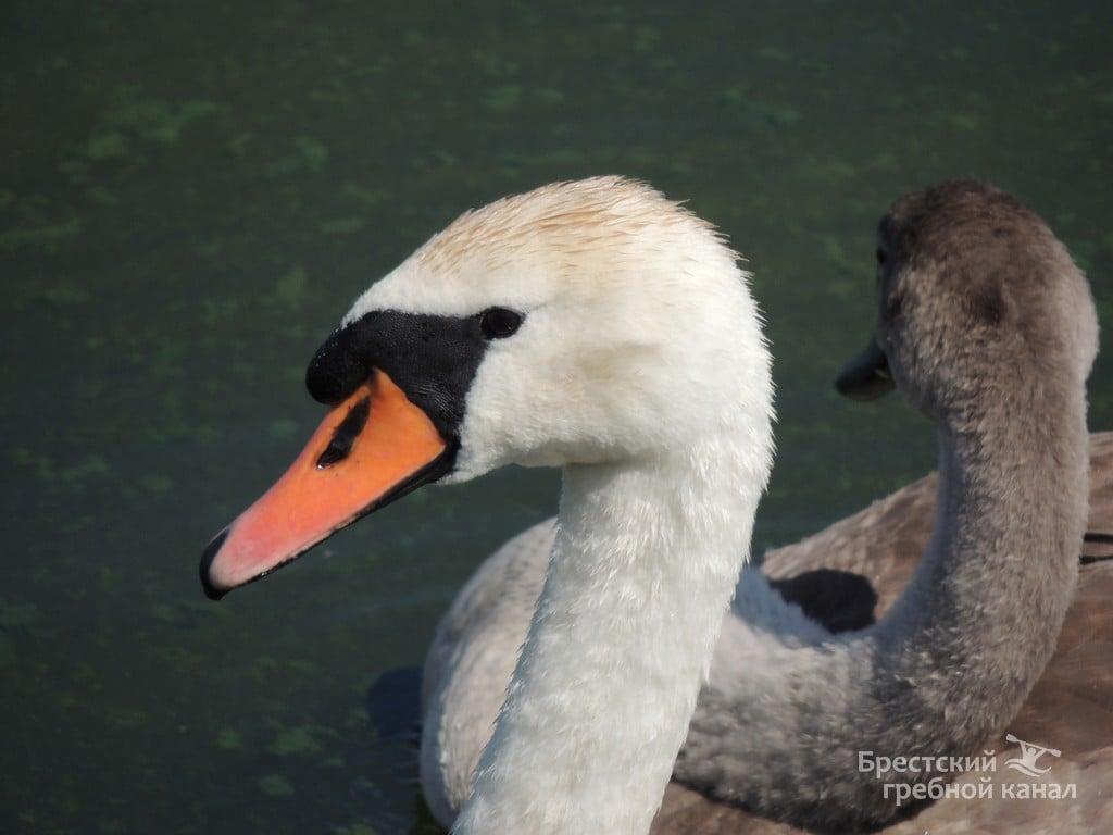 Лебедята на гребном канале заметно подросли, фотопозитив