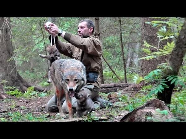 Этот мужчина спас волчицу и ее волчат спустя 4 года стая сама нашла его