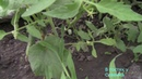Огурцы.Выращивание Огурцов в Теплице.