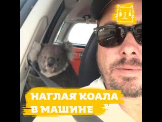 Наглая коала в машине