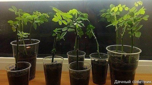 Размножение роз методом буррито Уважаемые садоводы! Хотим рассказать уникальный и в то же время простой способ размножения роз черенками. Вы наверное знаете, что многие садоводы, розоводы