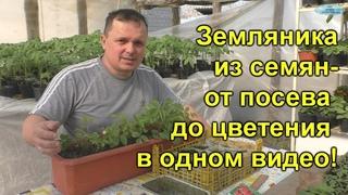 Земляника из семян- от посева до цветения!