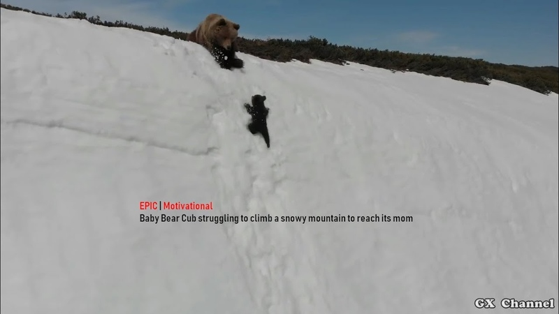 EPIC Baby Bear Cub struggling to climb a snowy mountain to reach its mom Motivational