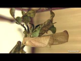 Ghost Mantis Female Final Molt