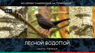"""Мир пернатых. Лесной водопой, часть 1. Видео из серии """"Наблюдая за природой""""."""
