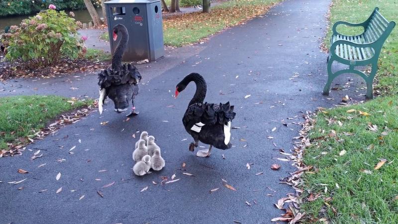 Super Cute Birds - Dawlish Black Swan Cygnets Entering the Water in Dawlish - Unedited