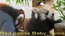 埼玉県こども動物自然公園 レッサーパンダ1 赤ちゃん リュウ セイ Red panda Cub Baby at Saitama Childrens zoo
