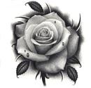 drawings of roses - 736×1041
