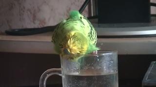Говорящий попугай купается