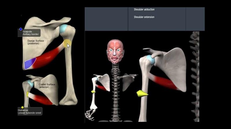 Анатомия Большой круглой мышцы Функции начало крепление