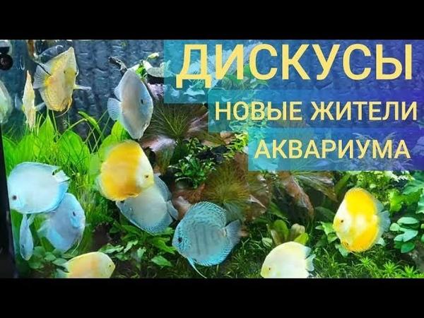 Дискусы-новые жители аквариума большого объёма 250×60×50 на 750 литров, сделанный своими руками. Ч30