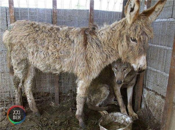 В горах на севере Албании в городе Patok, был пойман волк и помещен в загон. Для...