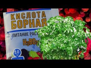 Зачем нужна Борная кислота для комнатных растений! Стоит ли использовать?