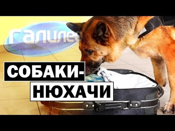 Галилео | Собаки-нюхачи 👃🐕 [Sniffer dogs]