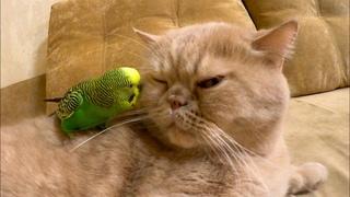 Говорящий попугайчик целует кота