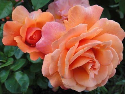 ФЛОРИБУНДЫ- розы красивые,стойкие,хорошо зимующие а Подмосковье.