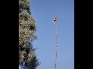 Срезание пальмы