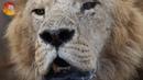 Дедовщина в львиной армии или есть еще порох в пенсионерах Тайгана. Old lions chase young lions.