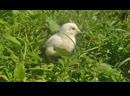 цыпленок цып