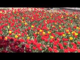 Выставка тюльпанов (НБС, Ялта, Крым) -
