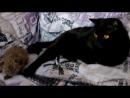 Янис и Айлисс Первый помет Родители котят Nika Scottish Strite SCS Sebastian Scottish Fold SFS 71 =Scottish Fold Strite