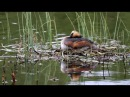 Slavonian Horned Grebe Podiceps auritus incubation shift