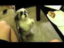 Skippy Begging A LOT for a Cookie!!