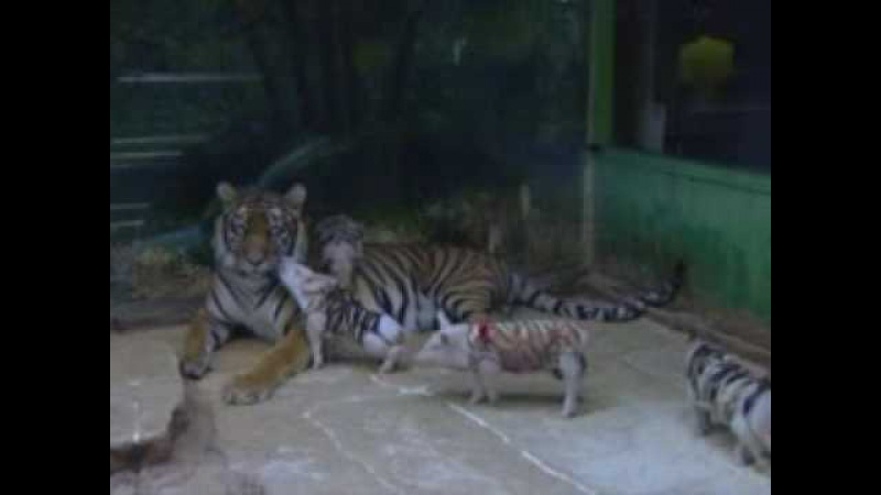 MOTHER TIGER ADOPTS PIGLETS!