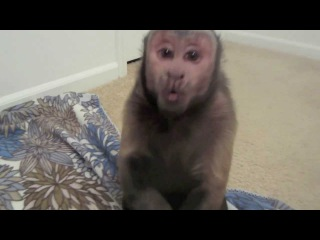 Capuchin Monkey Gets Pissed!