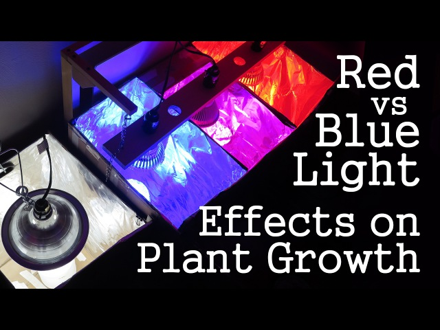 Experiment: Red Light vs Blue Light How Spectrums Affect Plant Growth LED vs CFL