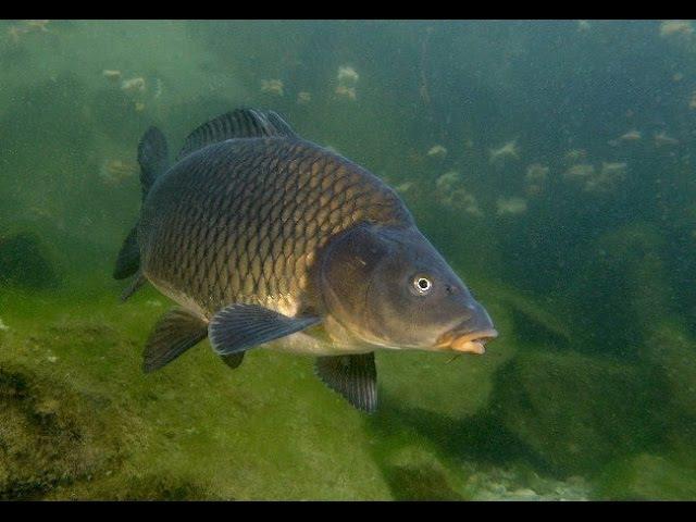 Ловля сазана карпа белого амура Подводные съемки высокого качества Carp Fishing