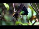 Colibri insigne (Fiery-throated Hummingbird) prend son bain sous la pluie!