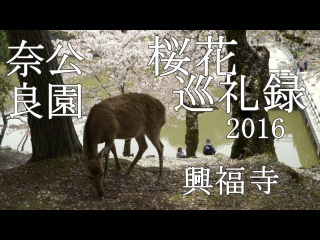 桜花巡礼録 2016 興福寺 奈良公園