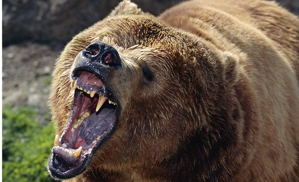 grizzly bear attacks - 655×524