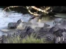 Crocodile Attack. Атака крокодила. Нападение крокодилов. Крокодилы на охоте.