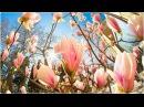 Ялта | Чудо дерево Магнолия Суланжа | Крым, апрель 2016