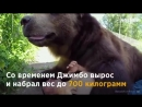 Этот мужчина обнимает, целует и играет с 700-килограммовым медведем. О такой дружбе можно