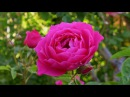 BEAUTIFUL ROSES - ERNESTO CORTAZAR - JUST FOR YOU - LET ME KISS YOU