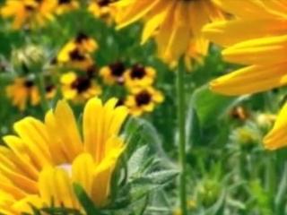Lakme Flower Duet