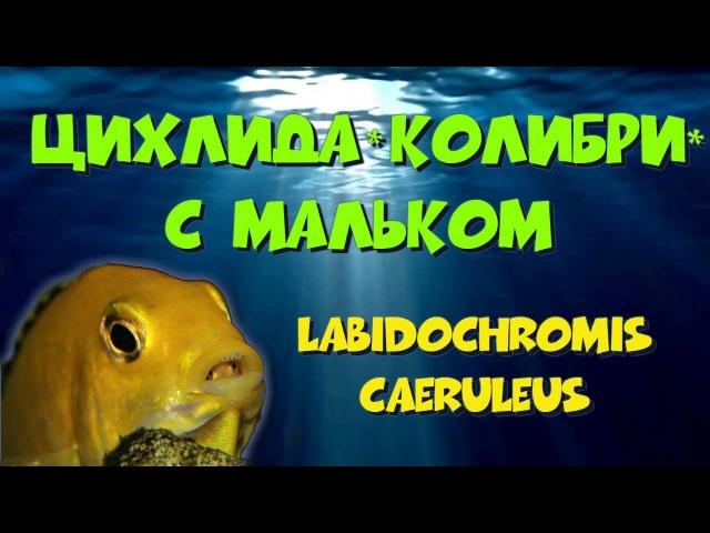 Лабидохромис еллоу с мальком. Labidochromis caeruleus