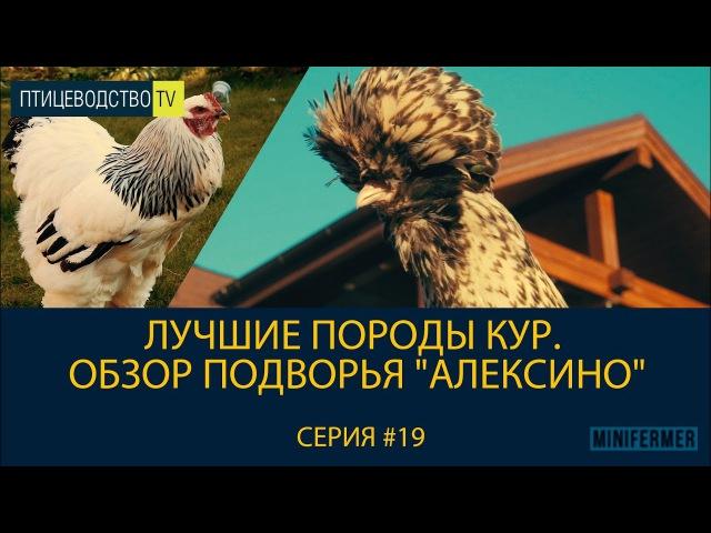 Лучшие породы кур. Обзор подворья Алексино \\ Питомник породистых кур