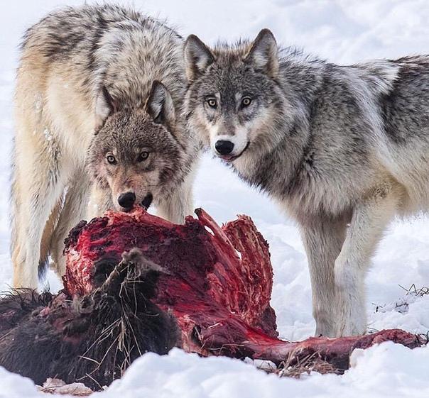 нём будут фото волка с вишней пансионат очень