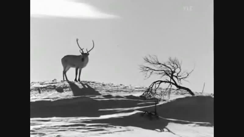 Valkoinen Peura The White Reindeer Finnish with English subtitles 1952