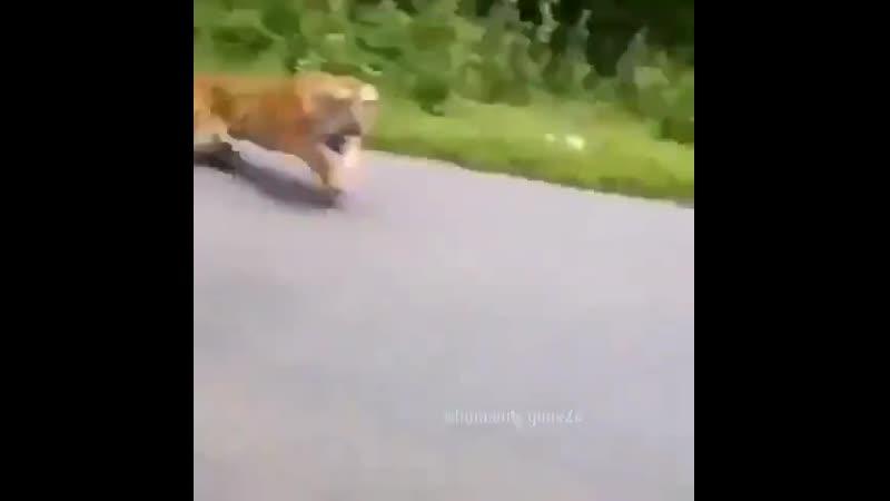 Тигр погнался за машиной