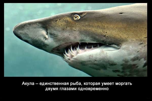 Valteya - Интересные факты о акулах / Хищники морей.(Видео. Фото) - Страница 2 35um_qMs-NM