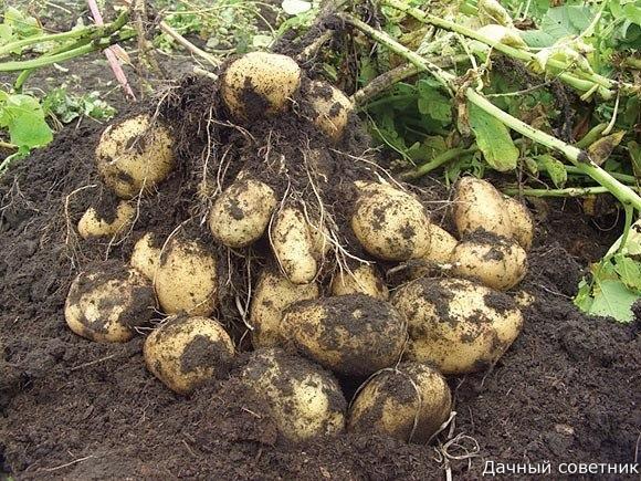 Картофель обыкновенный Моей соседке около 80 лет. Вроде старенькая, а всё что-то в огороде копошится.Мы свою картошку уже посадили, как положено, заранее проращивали. Но чуть-чуть осталось