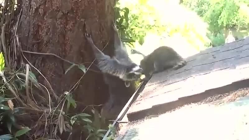 Мама-енот учит своего малыша забираться на дерево видео – TTl (Трогательно)