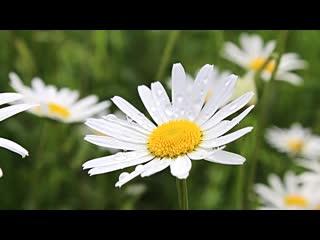 В этом цветке само лето - Идеи для сада | дача | ландшафт| огород