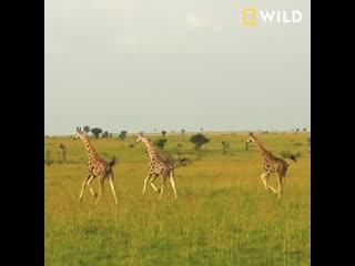 Всемирный день жирафа | National Geographic